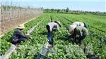 Giá rau Đà Lạt tăng cao do mưa kéo dài
