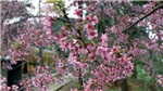 Ngắm hoa Tớ Dày bung nở trên núi đồi Tây Bắc