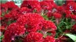 Rực rỡ chợ hoa 'trên bến, dưới thuyền' tại bến Bình Đông