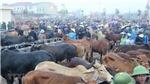 """Xem phiên cuối năm của 'chợ trâu bò lớn nhất Đông Nam Á"""" tại Đô Lương"""