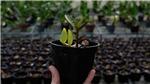 Giải mã công nghệ tạo giống lan rừng quý hiếm: Nhân giống hàng loạt lan Giả hạc Di Linh