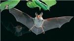 Loài dơi ở Lào mang virus tương tự virus SARS-CoV-2
