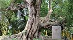 Chào tuần mới: Cây di sản và 'di sản cây'