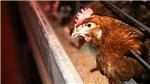 WHO khuyến cáo về lây nhiễm cúm A H5N8 từ gà sang người