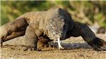 Indonesia sẽ xây dựng Bảo tàng rồng Komodo