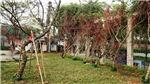 Đào rừng gắn tem truy xuất nguồn gốc đã có mặt tại Hà Nội