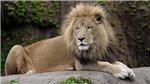 Thêm một trường hợp sư tử mắc Covid-19