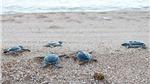 Cứu hộ, thả hơn 800 cá thể rùa quý hiếm về biển