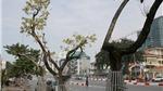 Nhiều cây sưa đỏ ở Hà Nội bị chết: Cần xem xét trách nhiệm xử lý nghiêm
