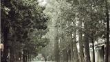 Chuyện Hà Nội: Khắc khoải những bóng cây Hà Nội
