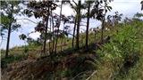 Rừng thông gần 20 năm tuổi ở Lâm Đồng lại bị triệt hạ 