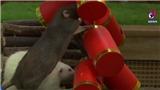 VIDEO Những giống chuột 'lạ' tại sở thú Singapore