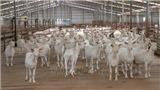 Kỳ vọng ở trang trại dê sữa lớn nhất Việt Nam