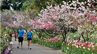 Ngắm hoa đào nở rộ ở Úc