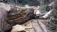 Khởi tố vụ án chặt phá rừng pơmu tại Vườn quốc gia Vũ Quang