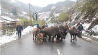 Nhiệt độ Sa Pa xuống 9 độ C, người dân sơ tán gia súc tránh rét