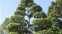 Cây Khế, cây Sộp tại khu mộ cụ Phó Bảng Nguyễn Sinh Sắc là cây Di sản Việt Nam