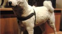 Trước khi ăn thịt chó, hãy đọc về chú chó huyền thoại Hachiko