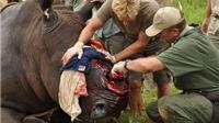 1.200 tê giác bị giết, trong khi Nam Phi lại bỏ lệnh cấm buôn bán sừng
