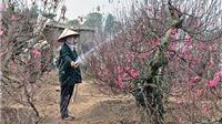 Làng đào Nhật Tân được Hà Nội vinh danh làng nghề truyền thống