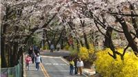 Vietravel bán nhiều tour đi Hàn Quốc ngắm hoa anh đào