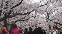 Đà Nẵng đề xuất tổ chức miễn phí Lễ hội hoa anh đào