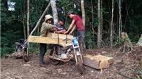 'Cào cào sắt' ăn tan hoang rừng Đăk Glei, Tây Nguyên