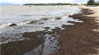 Rong biển trôi dạt đày đặc vào bờ ở Quảng Bình