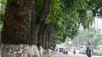 VIDEO: Chính thức di dời, chặt bỏ hàng cây cổ thụ ven hồ Thủ Lệ