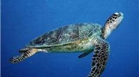 Thả hơn 900 rùa con về biển Vườn quốc gia Núi Chúa