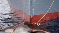 KINH HOÀNG: 2 tàu Nhật Bản đang 'TRUY SÁT' 333 'ông' cá voi