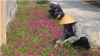 Những con đường tuyệt đẹp được 'trồng hoa thay thế cỏ dại' tại Thanh Hóa