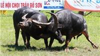 Tổ chức động vật châu Á lại kêu gọi chấm dứt lễ hội chọi trâu Đồ Sơn