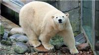 Chú gấu Bắc Cực đầu tiên chào đời tại Anh sau hơn 1/4 thế kỷ