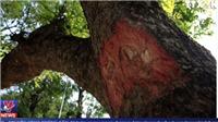 Đóng đinh gốc cây bị phạt tới 30 triệu đồng