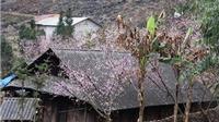 Bảo vệ hoa đào trên Cao nguyên đá