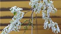 Đẹp mê mẩn mùa hoa sưa trắng muốt