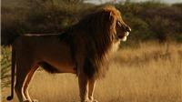 Giải cứu 33 con sư tử bị ngược đãi trong rạp xiếc