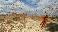 'Bão' châu chấu từ Lào tràn sang phủ kín hàng vạn hecta