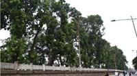 'Phút cuối' của hàng xà cừ trăm tuổi sắp di dời trên đường Kim Mã