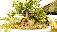 Những cây quất thế siêu đẹp của đất Hội An