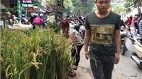 Tết 'con gà', người Hà Nội mua lúa về bày
