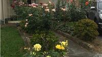 Nơi hoa hồng tuyệt sắc nở đầy đường khiến người Hà Nội phát... hờn