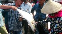 Ngư dân 'trúng' mẻ cá bè hàng trăm tấn, thu hơn 7 tỷ đồng
