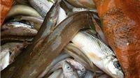 Thanh Hóa: Tái diễn hiện tượng cá chết hàng loạt chưa rõ nguyên nhân