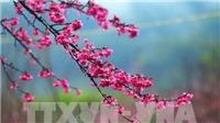 Lễ hội hoa Anh đào – Mai vàng Yên Tử diễn ra sớm hơn 2 ngày so với dự kiến