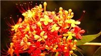 Hoa vàng anh khoe sắc bên suối nước Moọc ở Phong Nha-Kẻ Bàng