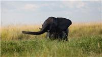 Sốc với vụ giết voi lớn nhất trong lịch sử tại Botswana
