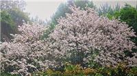 Trồng hơn 2.000 cây hoa Ban tại Di tích quốc gia đặc biệt đồi Độc Lập, Điện Biên
