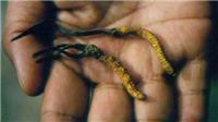 Thần dược đông trùng hạ thảo quý hơn vàng ngày càng khan hiếm